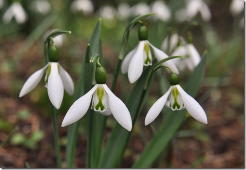 13 Galanthus 'Imitatio',