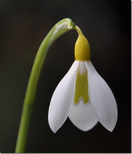 18 Galanthus plicatus 'Wendy's Gold'