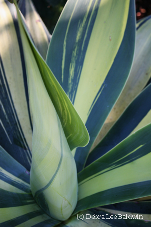 Agave attenuata, variegated
