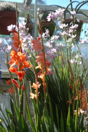 Watsonia laccata (orange) and Ixia flexuosa