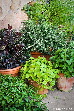 Pots of herbs from different regions of the world, Rosemary, Shiso, Gotu Kola, mint, vietnamese coriander, lemon verbena