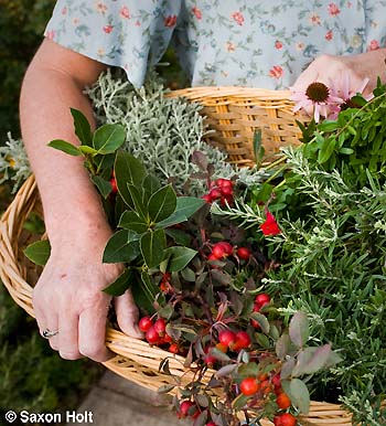 Tammi Hartung harvesting herbs