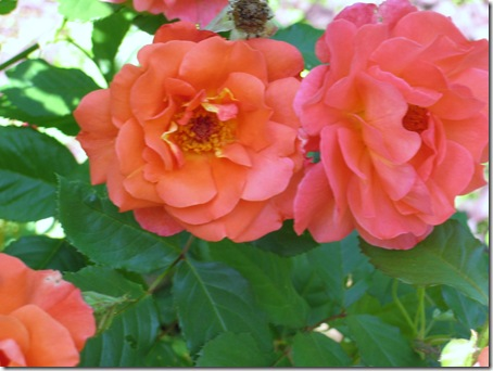 orange roses near back entry