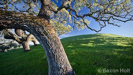 California Valley Oak (Quercus lobata) in spring green hills near Gilroy