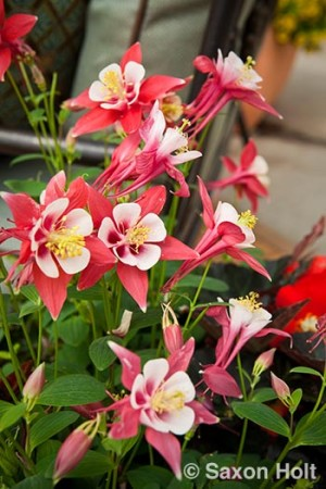 sygenta columbine Origami Red & White