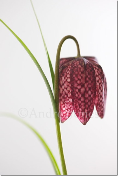 Fritillaria meleagris (Snakeshead fritillary)  © Andrea Jones  / Garden Exposures Photo Library