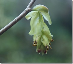 13 corylopsis spicata