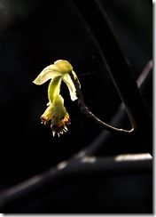 14 corylopsis spicata (2)
