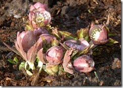 23a helleborus purpurascens