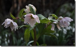 26helleborus thibetanus 2
