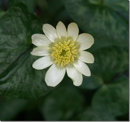 7 ranunculus ficaria salmon's white (1)