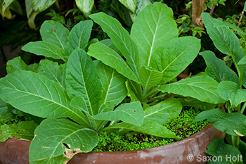 Tobacco Plant in Wicked Plants Exhibit