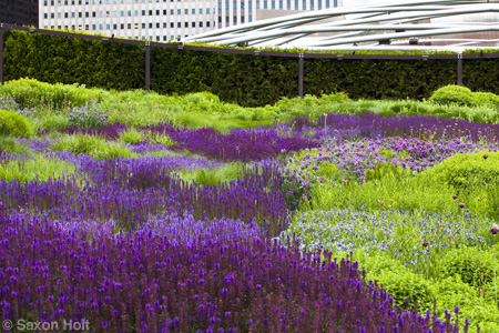River of meadow sage in Lurie garden