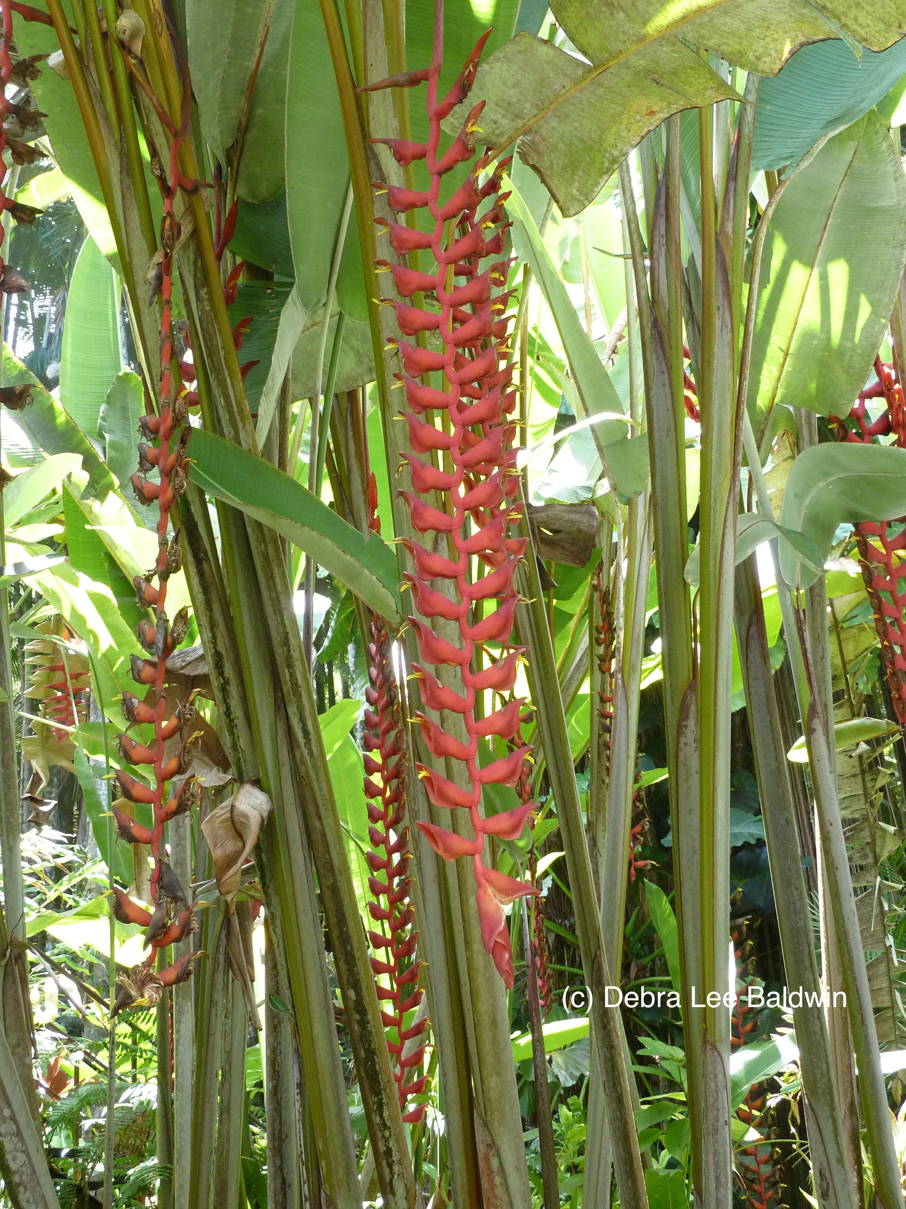 HTBG long heliconia2