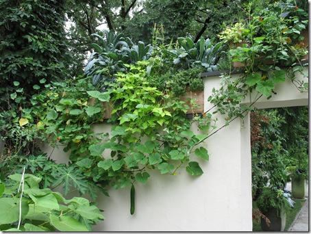 JW Edible plants trail down and climb up the walls of the Kitchen Courtyard
