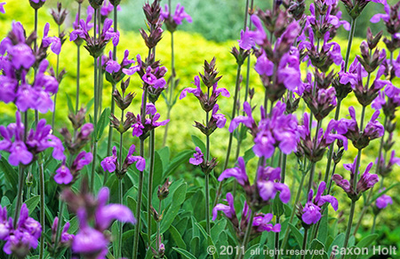 holt_732-283-salvia-officinalis-flowers