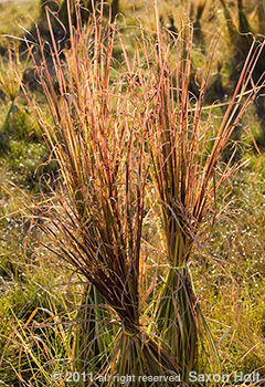 Vetiver Grass (Vetiveria zizanoides) backlit photo