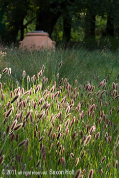 vertical photo pennisetum red bunny tails