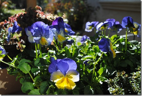 Photo 2 - Pansies