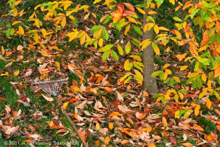 Rake-and-fall-tupelo-leaves9032362