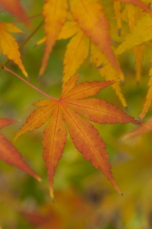 japanese maple raw