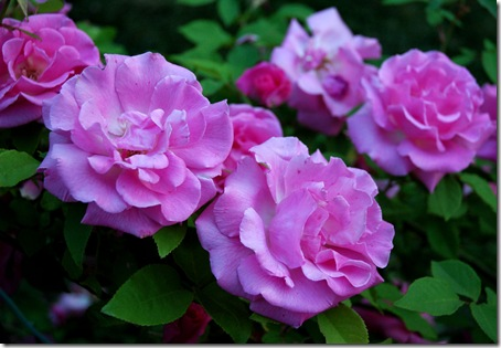 purple pink roses up close-53106