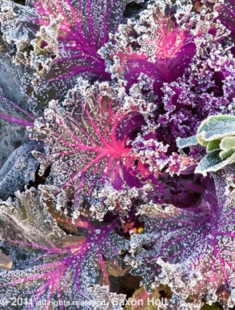 frost on kale leaves