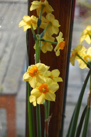 Falconet, a Tazetta type daffodil,