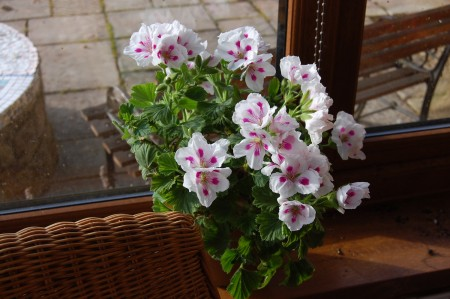 a got-it-from-the-garden-centre-no-idea-of-its-name regal type pelargonium