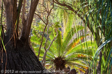 Cycad in huntington botanic garden