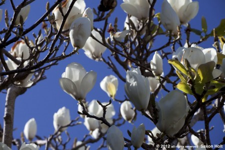 White flower dediduous magnolia blue sky