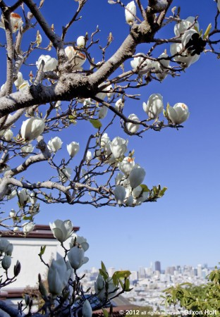 magnolia tree, cropped and brightened