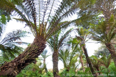 tree fern