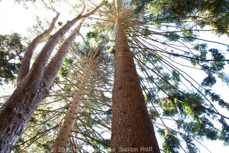 norfolk island pine, 