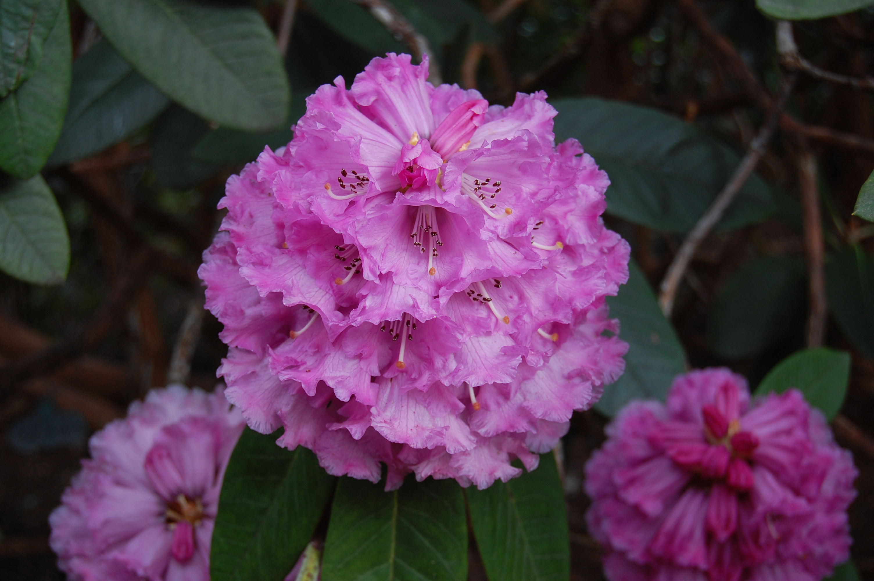 Rhododendron 'Colonel Rogers'. Yes that's right, COLONEL Rogers. A military chap. One wonders what sort of a fellow he was to have this named after him. I think my mother used to have a bathing cap a bit like this.