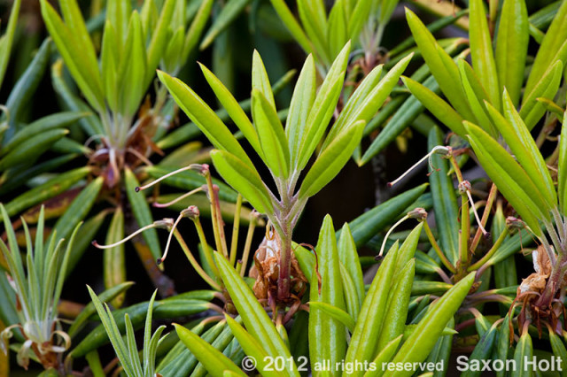 rhododendron leaves emerging in spring