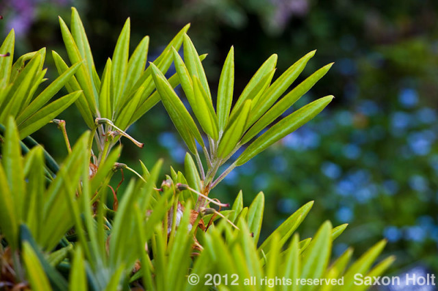 rhododendron leaves emerging