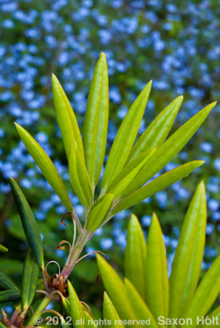 rhodo leaves with cloned myosotis
