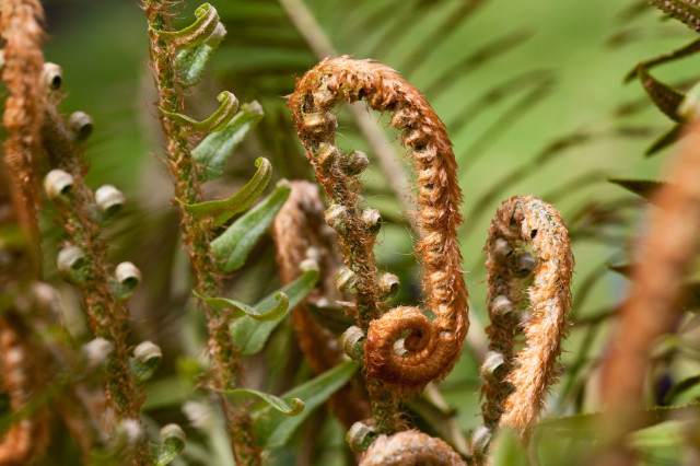 sword fern unfolding