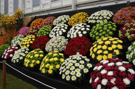Chrysanths grown to perfection. Hardly cultivated by amateurs these days.