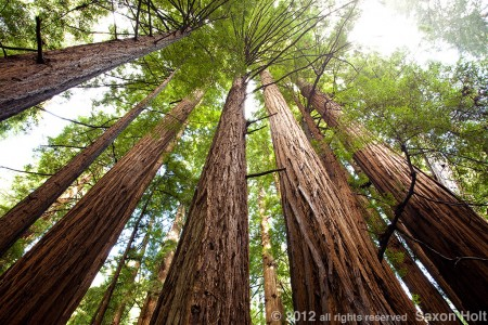redwood trees photo mural