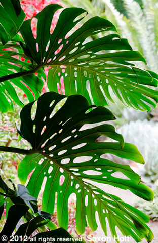 Philadendron Leaves and Bright Garden