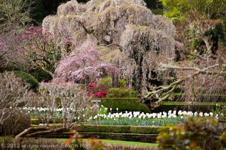 weeping cherry trees in Filoli wall garden