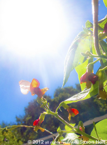 scarlet runner beans flower backlit blue sky