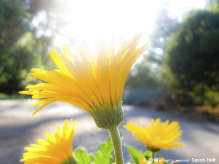 yellow gerbera backlit with bright light
