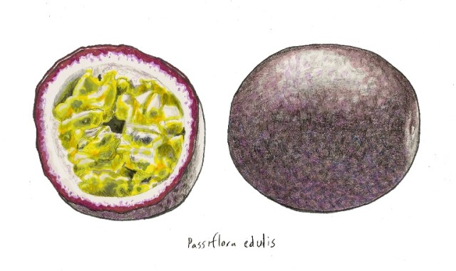 Passion fruit drawing