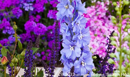 delphinium color shape in flower garden