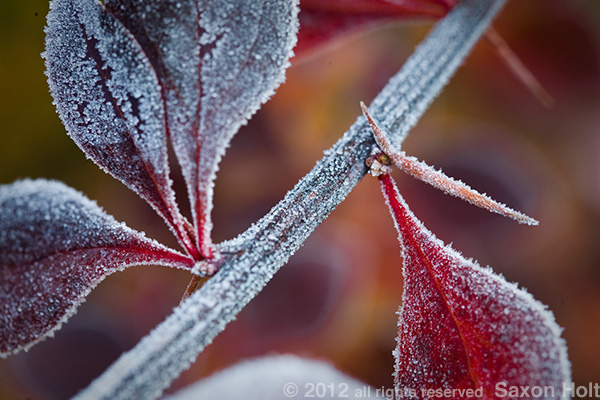 frosty leaves and negative spaces