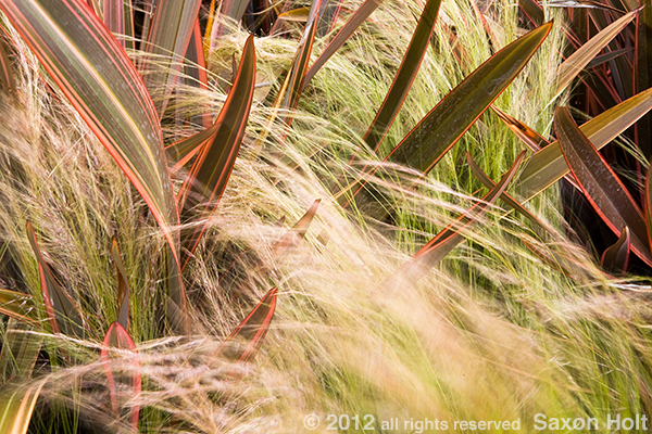 Feather grass enveloping Phormiums
