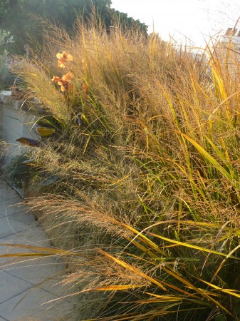 Panicum virgatum &#039;Northwind&#039;